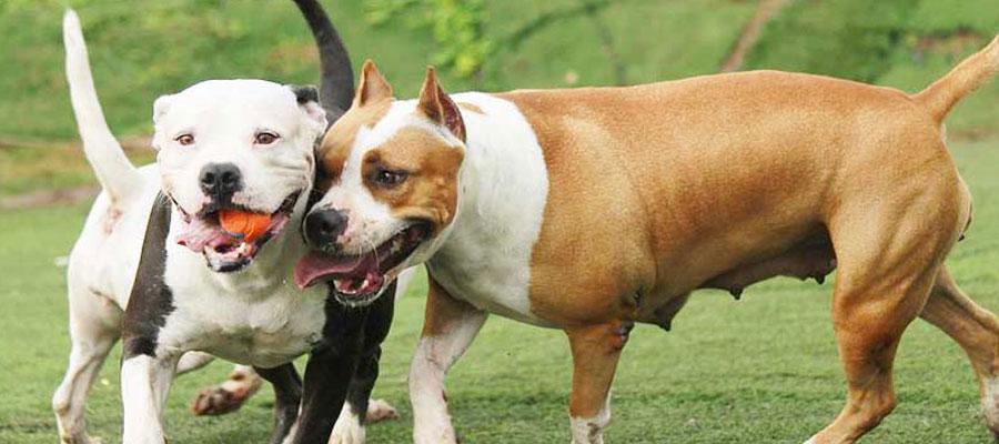 chiens de 2ème catégorie